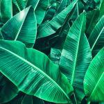 Природа Банановые листья № 1114