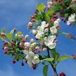 Фотообои Яблоня в цвету