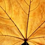 Фотообои Желтый  кленовый лист