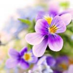 Фиолетовые цветы 0662