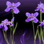 Фиолетовые цветы 0778