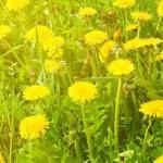 Желтые цветы № 0911