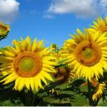 Желтые цветы № 0969
