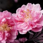 Розово-малиновые цветы № 1177