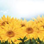 Желтые цветы № 1611