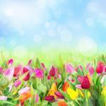 Тюльпаны № 2114