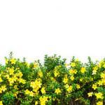 Желтые цветы № 2127