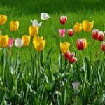 Тюльпаны № 2660