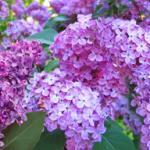 Фиолетовые цветы 2763