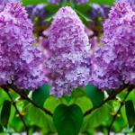 Фиолетовые цветы 2811