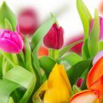 Тюльпаны № 3001