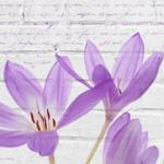 Фиолетовые цветы 3332