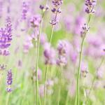 Фиолетовые цветы 5217