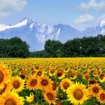 Желтые цветы № 5334