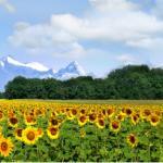Желтые цветы № 5588