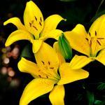 Желтые цветы № 5640