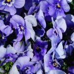 Фиолетовые цветы 5794