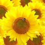 Желтые цветы № 6982